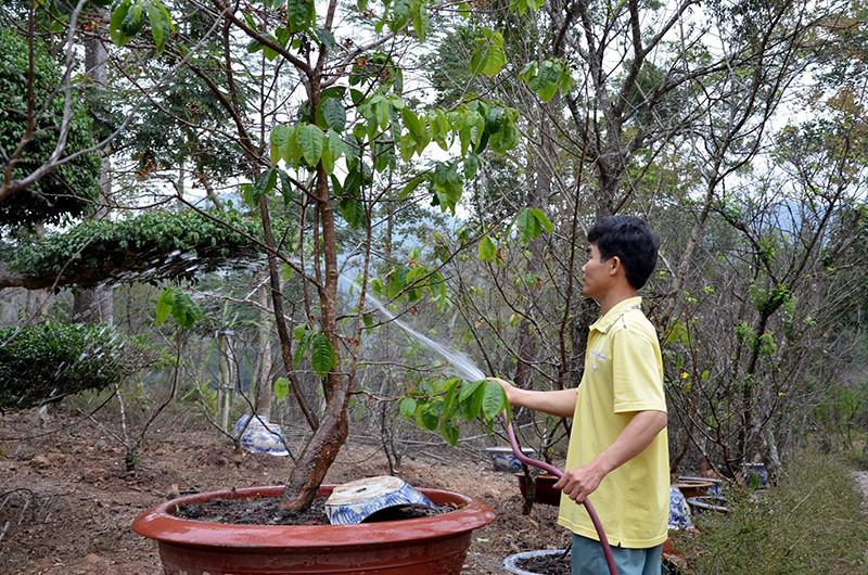 Việc trồng và chăm sóc cây mai vàng Yên Tử cũng không quá khó. Ảnh: Baomoi.