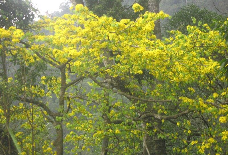Mai vàng Yên Tử sinh sống ở núi Yên Tử, tỉnh Quảng Ninh. Ảnh: Báo Giác ngộ.