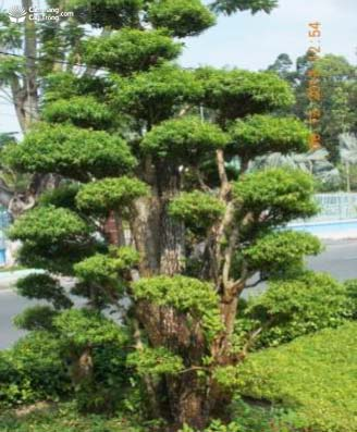 Gốc ghép là cây lồng mức, ngọn mai chiếu thủy lá nhỏ - kythuatcanhtac.com