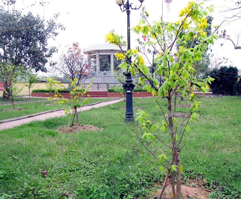 Kỹ thuật trồng và chăm sóc đều chỉ nhằm mục đích giúp cây sinh trưởng và phát triển tốt chứ không làm thay đổi chất lượng đặc thù của hoa mai. Ảnh: Báo Quảng Ninh.