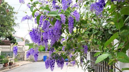 Cây Hoa Mai Xanh Và Mai Xanh Thái,cây hoa mai xanh, cây mai xanh, hoa mai xanh, hoa mai xanh thái, cây mai xanh thái, cây mai xanh đà lạt, cây bông xanh, cây chim xanh, mai xanh đà lạt, mai xanh thái, phân biệt cây hoa mai xanh và mai xanh thái, mai xanh thái lan, cây hoa mai tím, cây mai xanh Thái lan,mai xanh Thái, mai tím Thái Lan, Sandpaper vine, Purple wreath, Queen's Wreath, Petrea volubilis