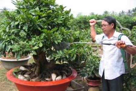 Hướng dẫn cắt tỉa cành mai và chăm sóc cây mai vàng sau tết Nguyên đán