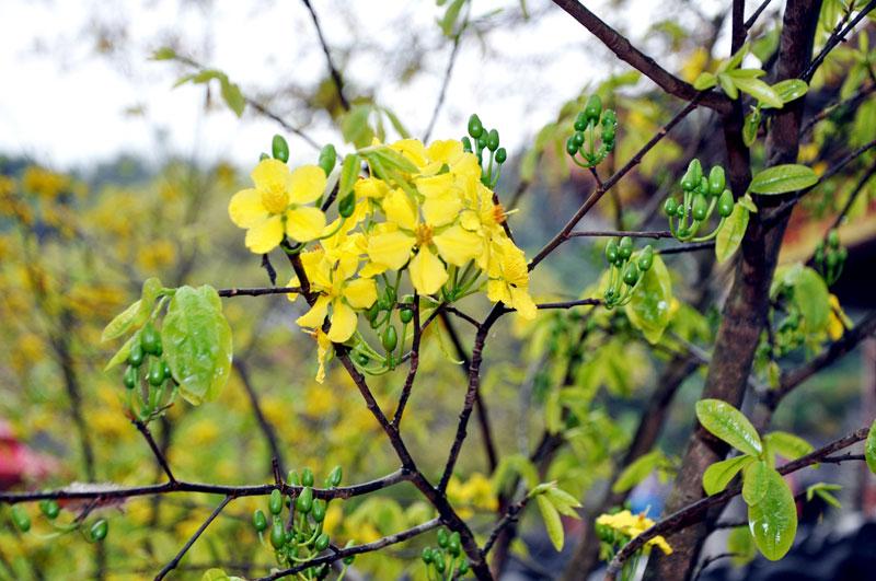 Nụ hoa mai vàng Yên tử. Ảnh: Baoquangninh.