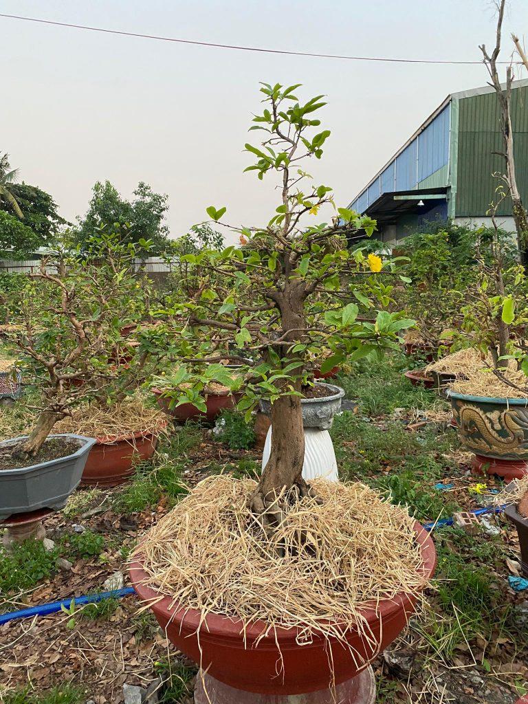 Cho cây vào chậu và phủ thêm lớp rơm tạo độ ẩm