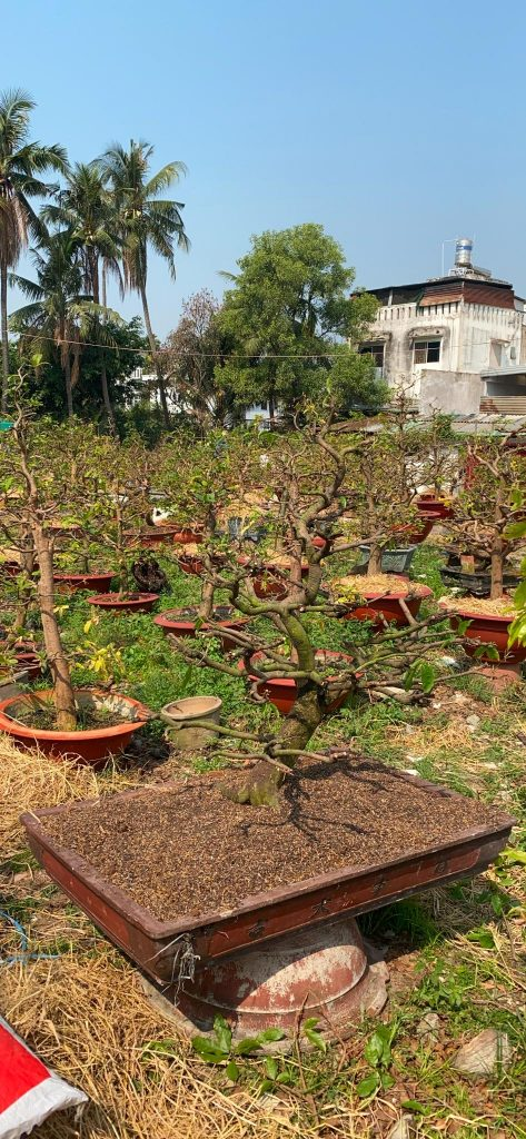 Hoàn thành quá trình vào phân cho cây mai