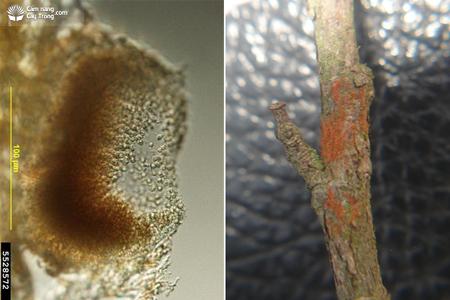 Bào tử nấm bệnh và triệu chứng bệnh mốc cam trên cây trồng