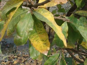 Vàng lá trên cây mai do thiếu các yếu tố dinh dưỡng vi lượng