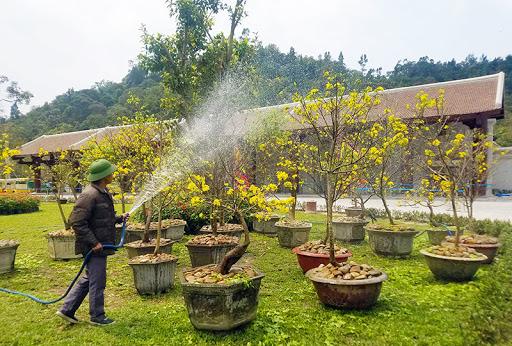 Lễ hội hoa Anh đào – Mai vàng Yên Tử sẵn sàng chào đón du khách
