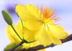 Hoa mai vàng 9 cánh