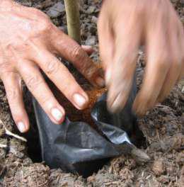 Đặt cây mai vào hố trồng