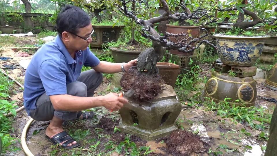 Cách chăm sóc cây mai bị suy để nhanh phục hồi
