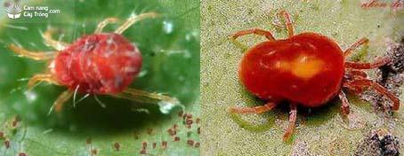 Nhện đỏ Tetranychus sp.