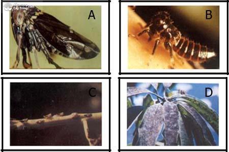 (A) Con trưởng thành rầy bông xoài; (B) Ấu trùng rầy bông xoài (C) Con ấu trùng trên phát hoa xoài; (D) Rầy gây ra bồ hóng trên lá.