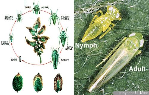 Vòng đời rầy xanh Empoasca sp
