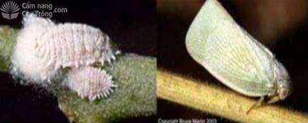 Rệp sáp Dysmiccocus