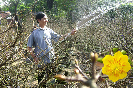 Tưới nước cho cây mai