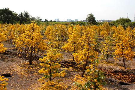 Vườn trồng cây mai vàng