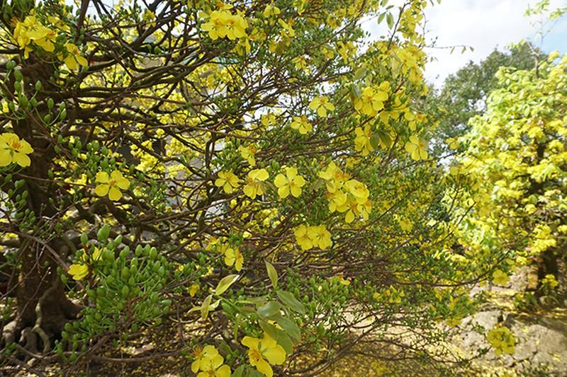 Cận cảnh cây mai vàng miền Tây có giá bằng một căn hộ ở thành phố | Đời sống | Thanh Niên