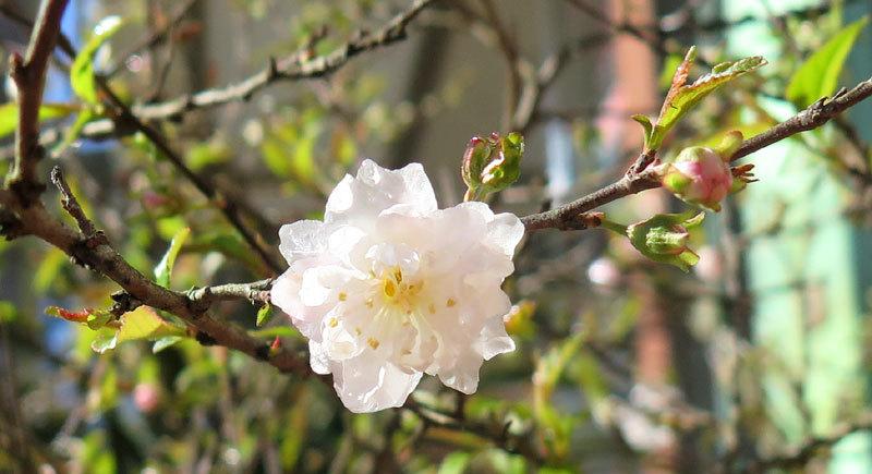 Nhất chi mai (cây mai trắng) không chỉ là cây cảnh đẹp vào mùa xuân mà còn có nhiều tác dụng quý trong phòng trị bệnh.