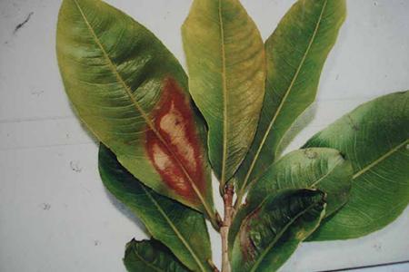 Phòng trừ bệnh thán thư hại cây mai vàng