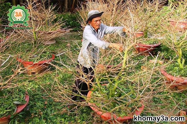 cách chăm sóc cây mai