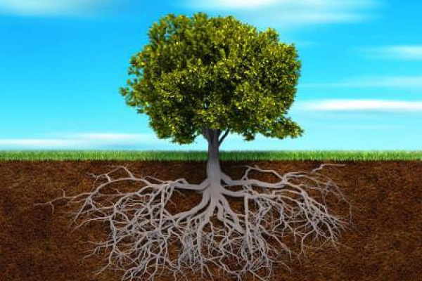 Rễ cây giúp cây bám vào lòng đất, hút nước và các chất khoáng, hô hấp