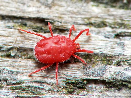 Cách phòng và trị bệnh nhện đỏ cho mai tết