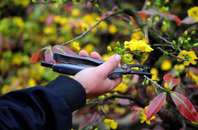 Hướng dẫn kỹ thuật cách cắt tỉa cây mai vàng tạo dáng đẹp