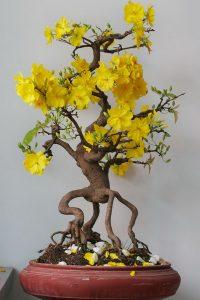 Hướng dẫn cắt tỉa cây mai vàng tạo thế bonsai đẹp