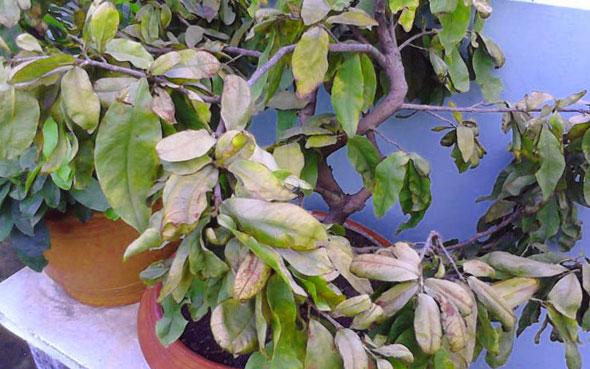 Hiện tượng vàng lá, rụng lá