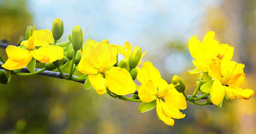 Hướng dẫn cách chăm sóc hoa mai vàng để hoa nở đúng dịp Tết