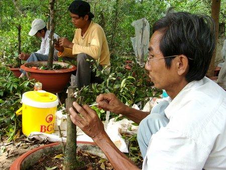 Cách chăm sóc cây mai ghép