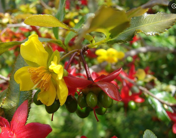 Kỹ thuật trồng và chăm sóc hoa mai