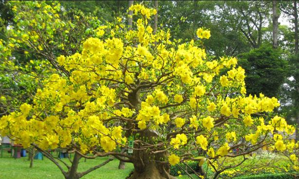 Cấu tạo của cây hoa mai