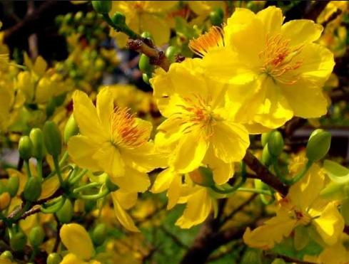 Ý nghĩa của hoa mai