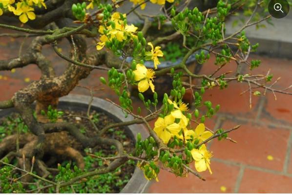 Phân loại các loại hoa mai tại Việt Nam