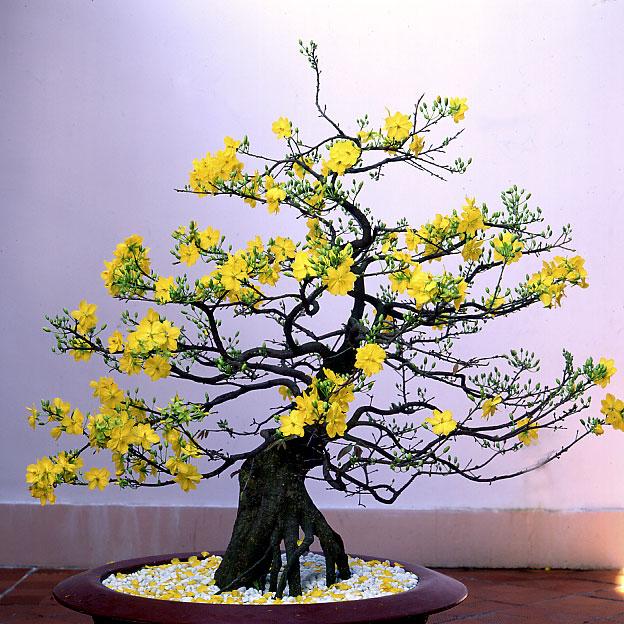 Hoa mai cho ngày tết thêm rực rỡ sắc màu - Đa dạng về màu sắc rực rõ