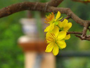 Cây hoa mai tứ quý thường trồng bằng cách gieo hạt, giâm, chiết cành