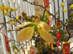 Loại hoa thứ 2 của giống mai xanh, có 5 cánh,, cánh hơi ửng đỏ. Có nhụy.