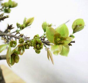 Ảnh minh họa hoa mai xanh, ảnh độc quyền từ Hoàng Long Garden