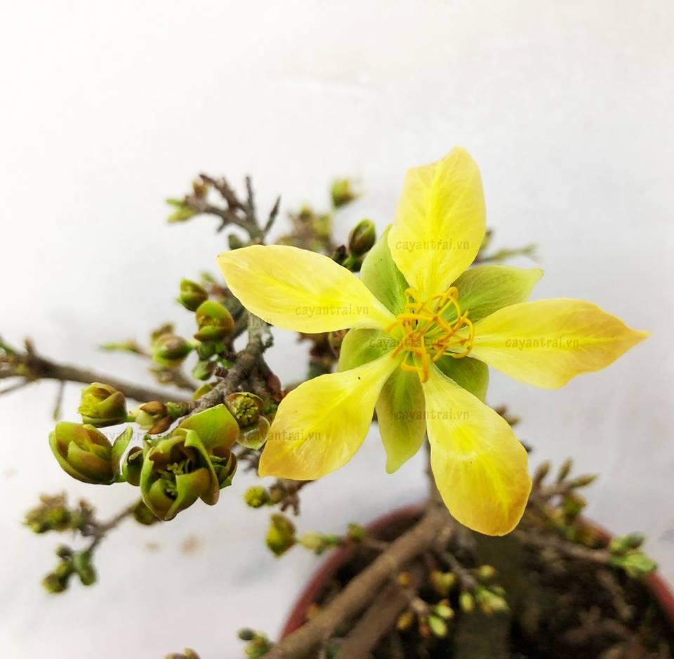 Một cây mai xanh có thể ra cùng một lúc 2 loại hoa. Hoa vàng như ảnh và một loại hoa màu xanh lá cây.