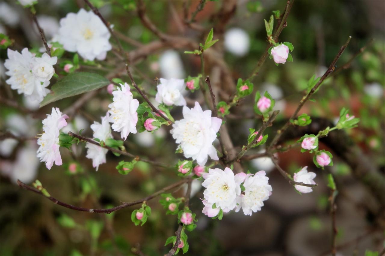 Nguồn gốc hoa nhất chi mai