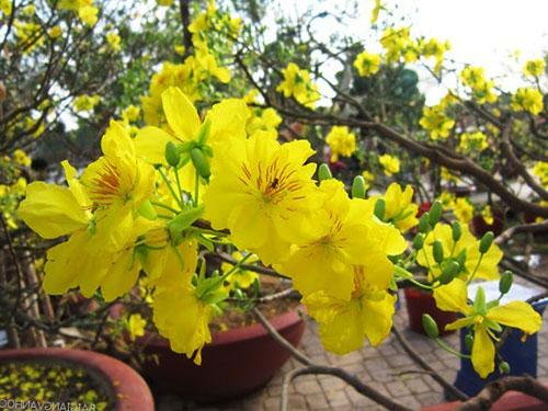 Cây Mai Vàng – kỹ thuật trồng, chăm sóc mai vàng ra hoa đúng dịp