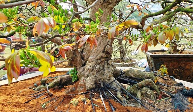 Kỹ thuật chăm sóc rễ mai