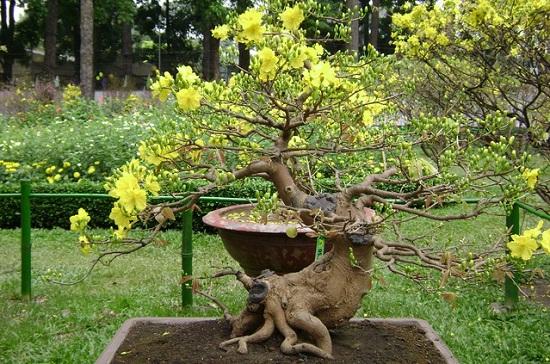 Cách phòng trị các bệnh thường gặp trên cây Mai vàng để hoa nở đẹp đúng dịp Tết - ảnh 1