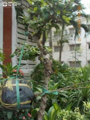 cây mai ghép