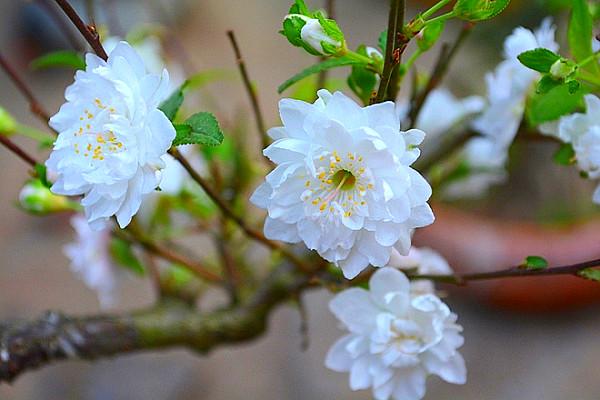 Mai trắng mang vẻ đẹp thanh thiết và yêu kiều