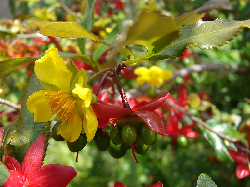 Cây mai tứ quý nở hoa 2 lần rất đặc biệt. Ảnh minh họa