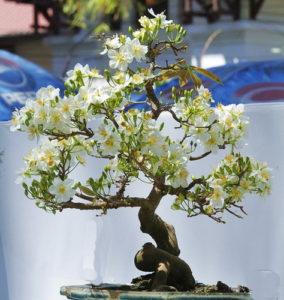 Hoa Mai trắng Bonsai đẹp