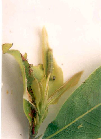 sâu tơ hại lá cây mai vàng